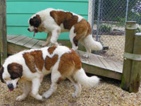 Photo Gallery | stbernard1and2aug09